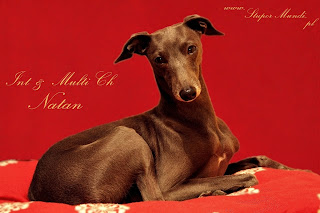 Italian Greyhound NATAN z Ochoczej stud dog