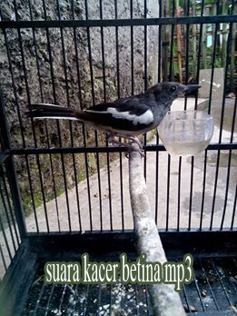 Download Suara Kacer Betina Mp3 Durasi Panjang