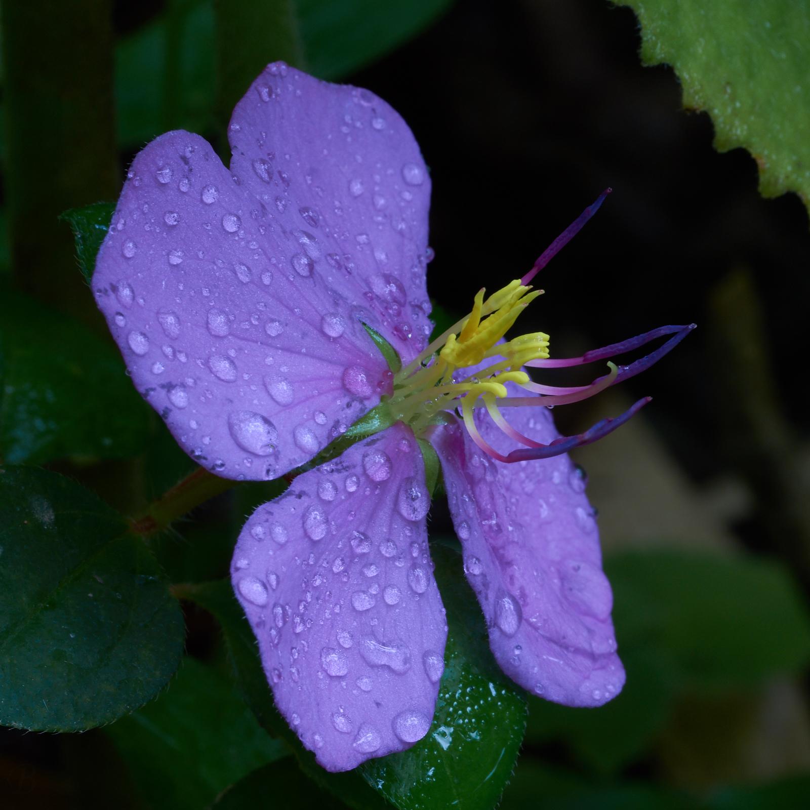 Robert Brown, macro photography, purple flower,Philippines
