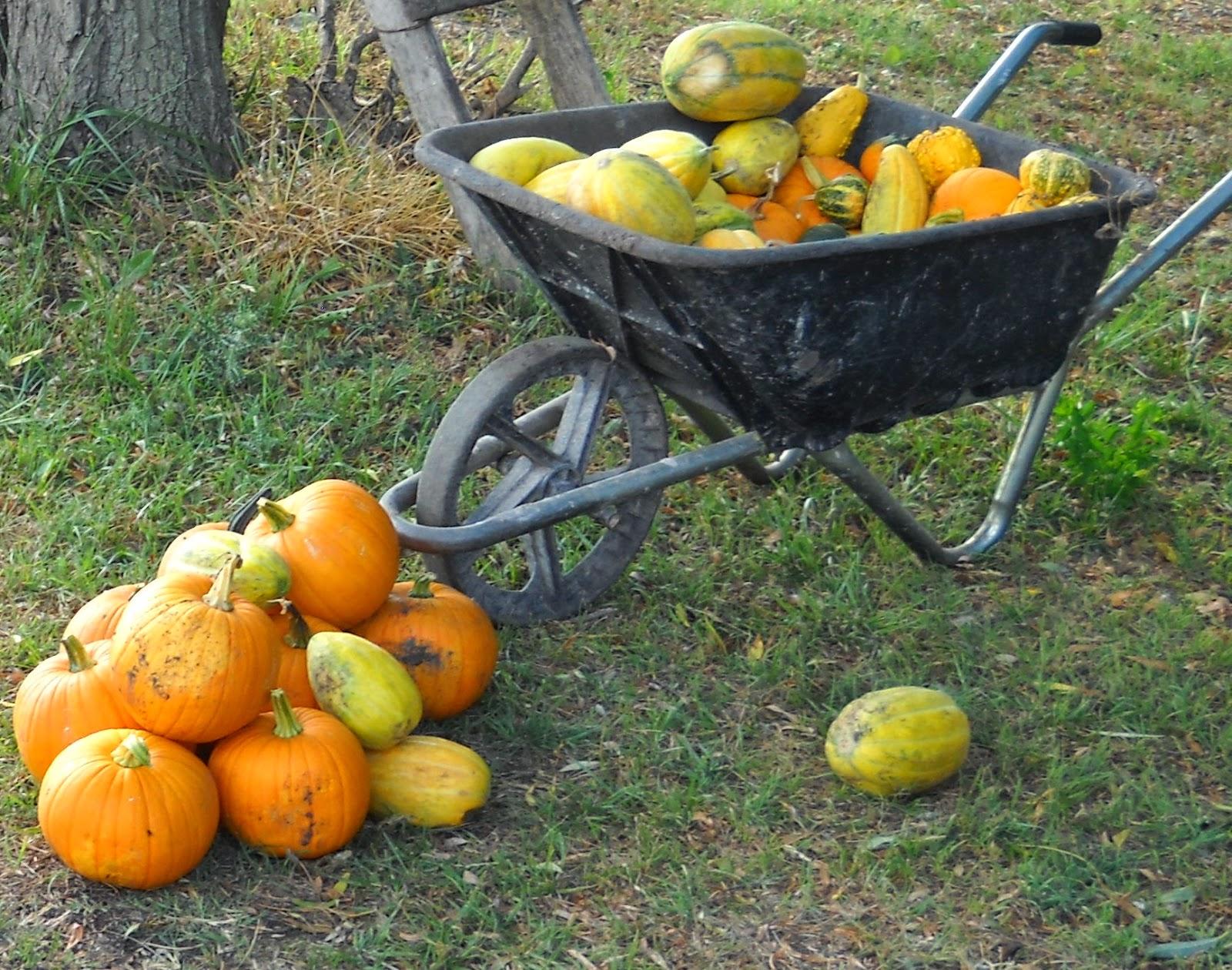 Cultivo de zapallos, calabazas y ornamentales. Calabaza Halloween.