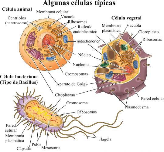 Célula: células típicas