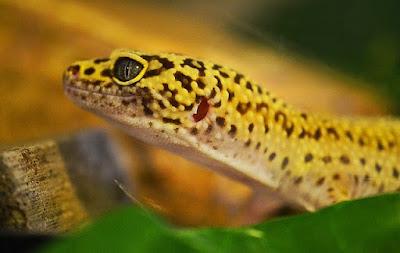 jenis reptil Leopard Gecko