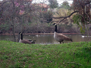 Canada Geese at Lake Solano County Park
