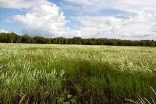 Australian wild rice