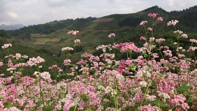 Unique Buckwheat Flower Festival in Sun World Fansipan Legend, Lao Cai 2017 1