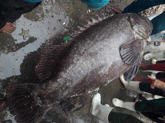 Ngư dân Quảng Ngãi bắt được cá mú 'khủng' nặng 64 kg dài 1,2m