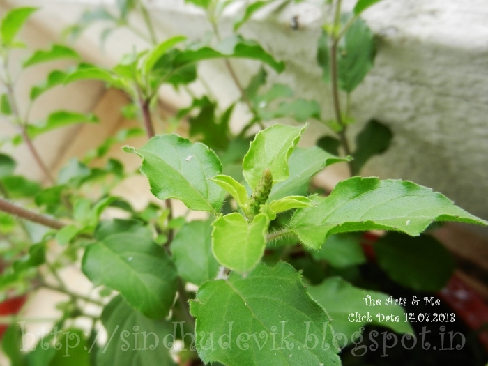 A holy basil plant with emerging flower buds