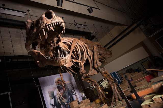 Palaeontologists report world's biggest Tyrannosaurus rex