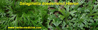 Ovarian cancer use Selaginella doederleinii Hieron