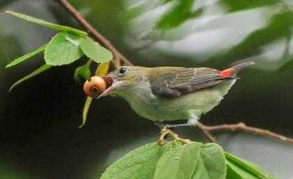 Cara Membedakan Burung Kemade Jantan Dan Betina Paling Akurat Kicau Mania