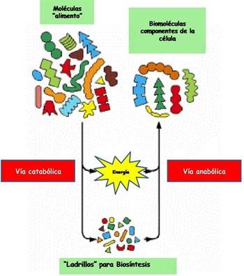 Biólogo Total: Catabolismo e Anabolismo