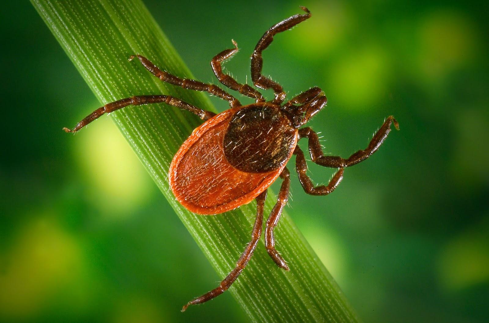 The Black-Legged Tick ! Garden Bible