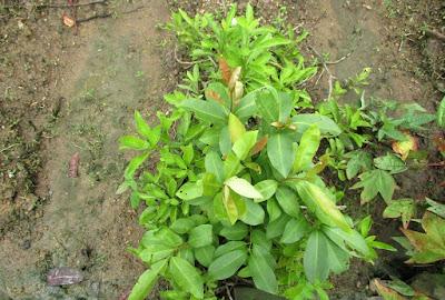 sambung nyawa leaves gynura procumbens