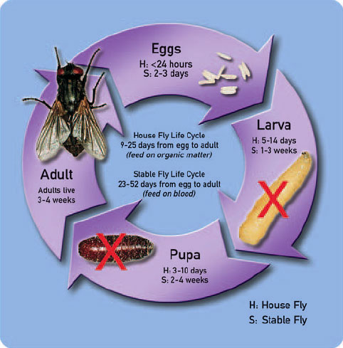 Life cycle of fly