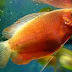 Cara Mudah Budidaya Ternak Ikan Sepat Madu