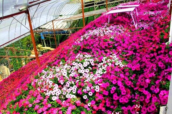 lavender garden cameron highland taman bunga