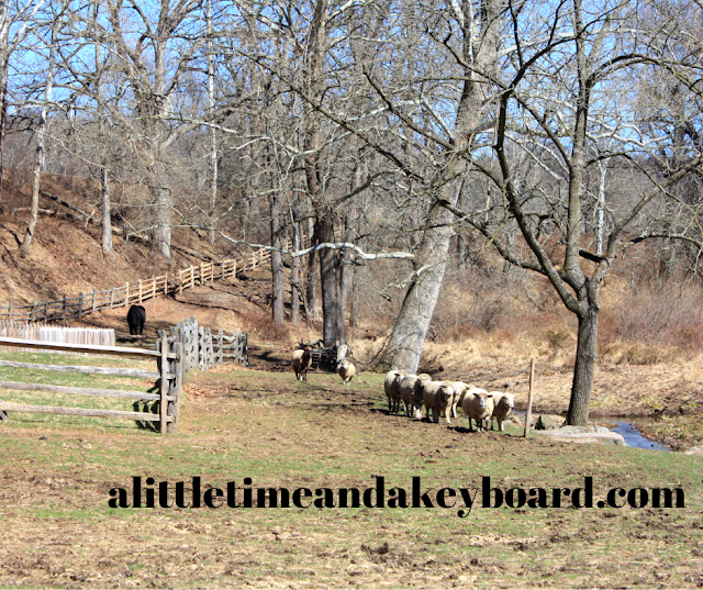Sheep herd coming home at Hopewell Furnace