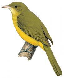 Golden Greenbul