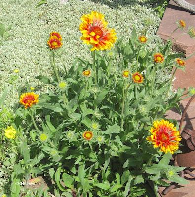 blanket flower, Gaillardia