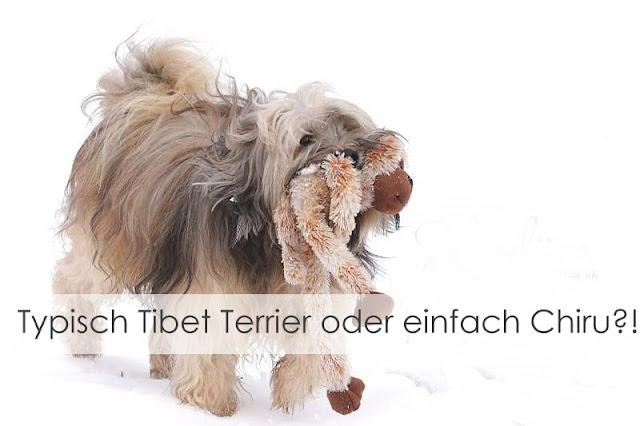 Tibet Terrier Chiru [Hundeblog] Viele Tibet Terrier lieben Schnee
