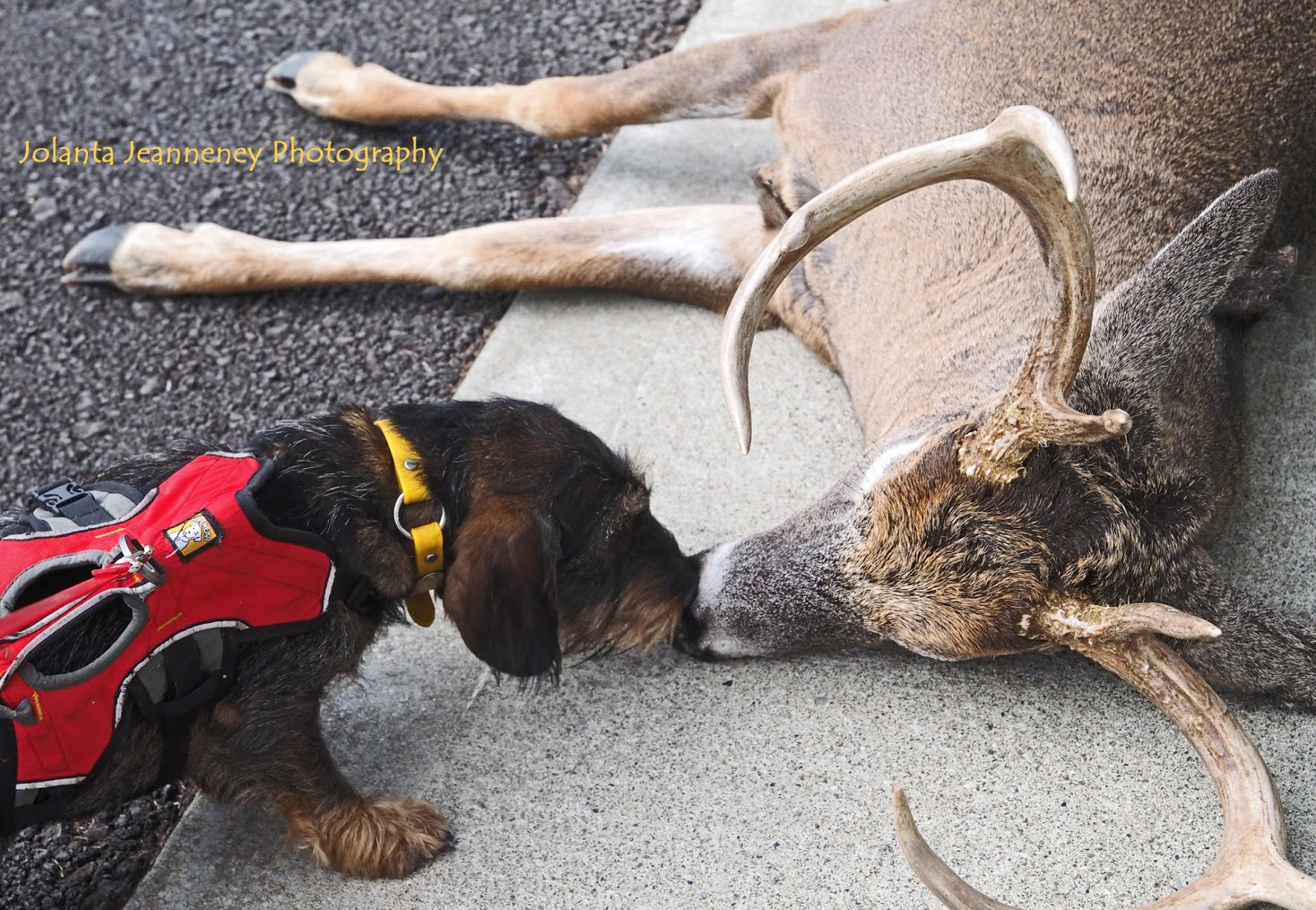 BORN-TO-TRACK BLOG: Blood tracking wirehaired dachshund puppies for sale