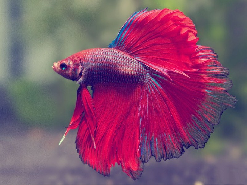 Usaha Ikan Hias menguntungkan