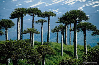 Tallest Tropical Trees, Endemic to Papua Indonesia