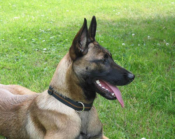 Malinois - Belgian Shepherd | All About Dogs