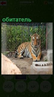 лежит обитатель зоопарка тигр с грустным видом
