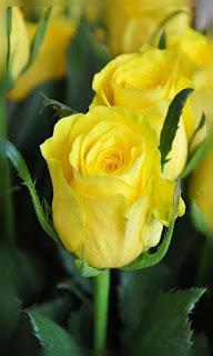 Flores rosas amarilla en botón fondos wallpaper para teléfono móvil resolución 480x800