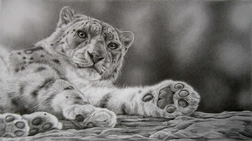 10-Awakening-Snow-Leopard-Julie-Rhodes-Wildlife-Animals-Realistic-Pencil-Drawings-www-designstack-co