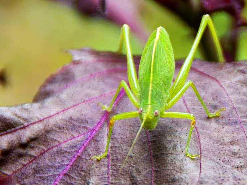 insect,Kuwayamaea sapporensis, ezo-tsuyumushi