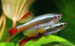 Ikan White Cloud Mountain Minnow