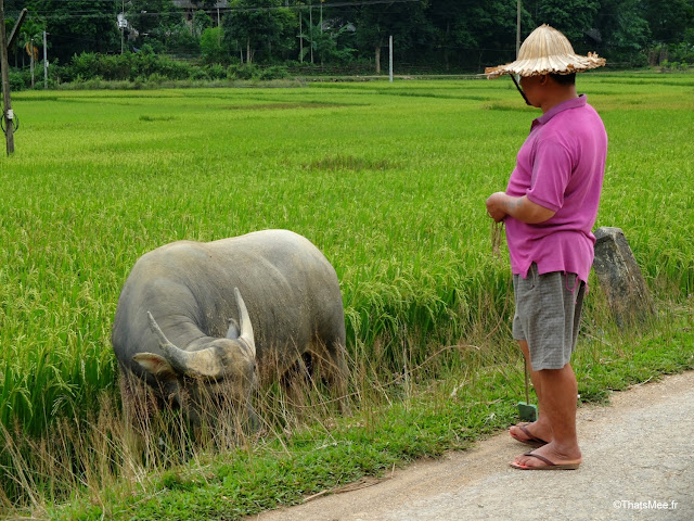 paysan buffle mai chau vietnam