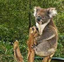 ماهو حيوان الكوال الرمادى koala