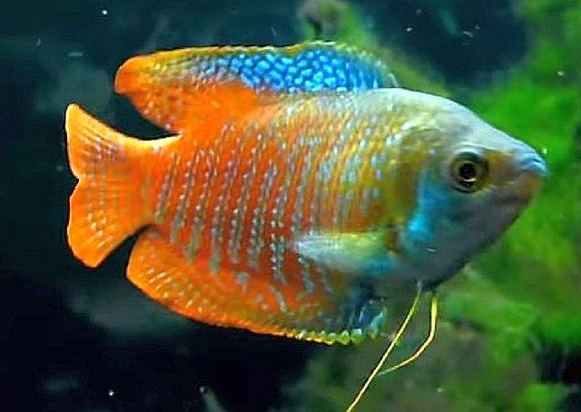 Ciri Khas Ikan Dwarf Gourami
