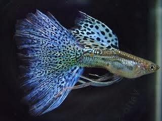 Panduan Cara Perawatan dan Pemijahan Ikan Guppy
