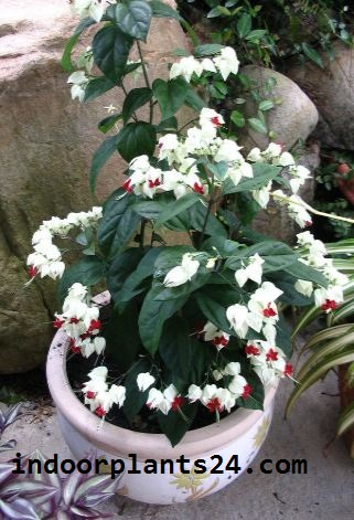 Verbenaceae BLEEDING HEART VINE Plant picture