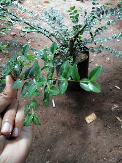 pohon mirten