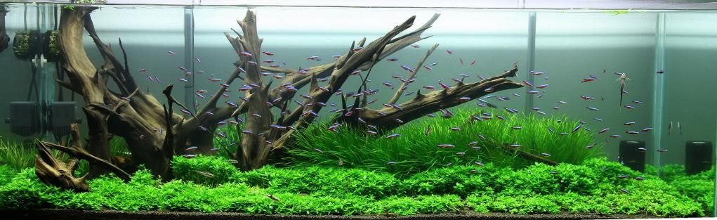 cây rau thơm mang lại vẻ đẹp tự nhiên cho hồ thủy sinh