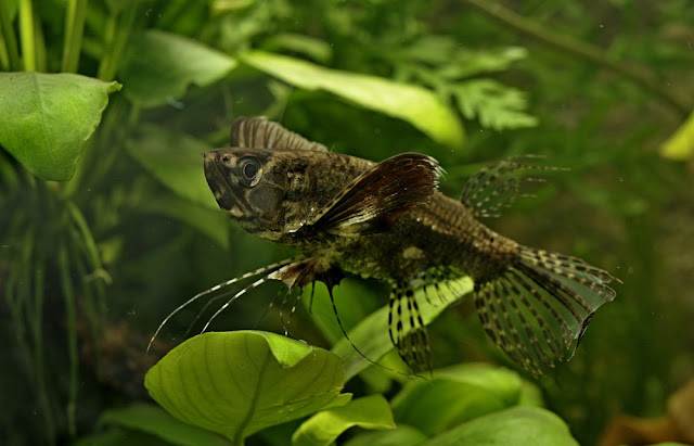 butterfly fish ikan hias air tawar