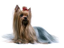 Anjing Ras Australian Silky Terrier
