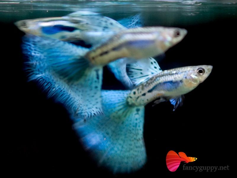 Gambar Jenis Ikan Guppy Import - Ikan Guppy Import Blue Grass / BG