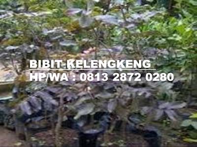 Bibit Kelengkeng | Bibit Kelengkeng Merah | Bibit Kelengkeng Merah Murah | Harga Bibit Kelengkeng Merah | Jual Bibit Kelengkeng Merah | Bibit Kelengkeng Aroma Durian | Bibit Lengkeng Aroma Durian | Jual Bibit Kelengkeng Aroma Durian | Bibit Kelengkeng Kristal | Bibit Kelengkeng New Kristal | Bibit Kelengkeng Itoh | Bibit Kelengkeng Itoh Super | Bibit Kelengkeng Diamond River