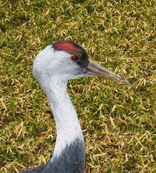 Indian birds - Hooded crane - Grus monacha