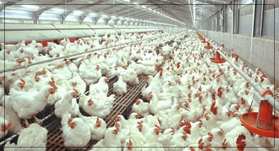 Cara Mempercepat Pertumbuhan Pada Ayam Pedaging Dengan SOC