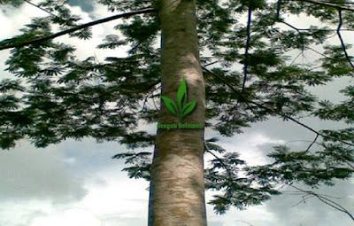 Pohon-Sengon