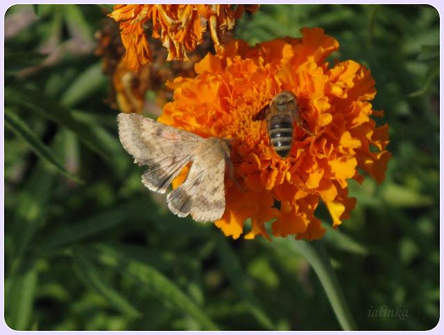 совка гамма пчела