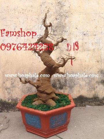 Goc bonsai mai dao tai Lac Long Quan