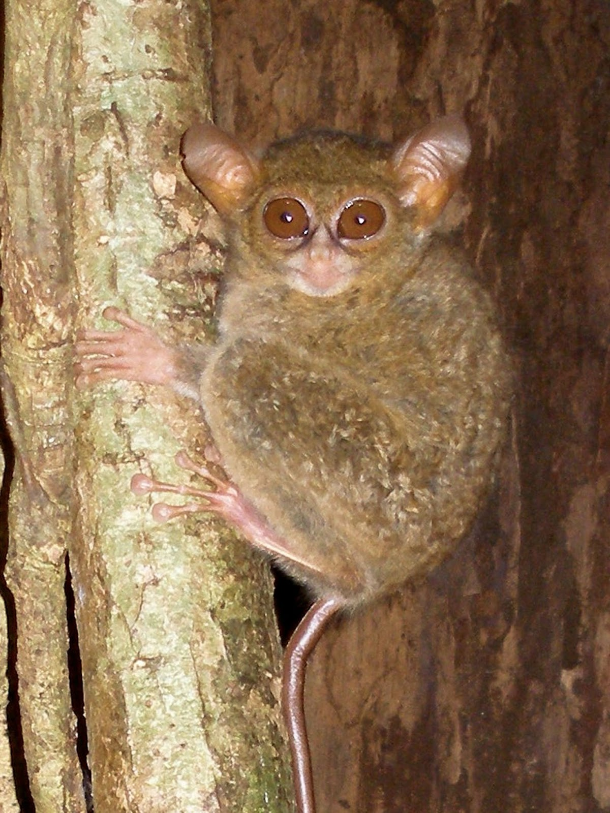 Species New to Science: [Mammalogy • 2017] Tarsius ...